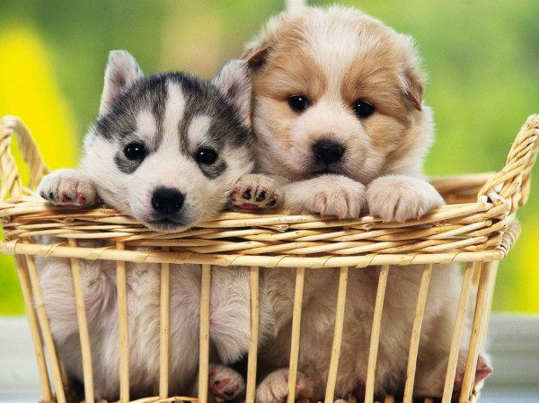 48286-puppies-basket-of-puppies